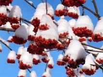 Rote Ebereschenbeeren auf einer Niederlassung im Schnee auf einem kalten Morgen Lizenzfreie Stockfotografie