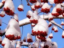 Rote Ebereschenbeeren auf einer Niederlassung im Schnee auf einem kalten Morgen Lizenzfreies Stockfoto