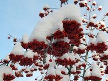 Rote Ebereschenbeeren auf einer Niederlassung im Schnee auf einem kalten Morgen Lizenzfreies Stockbild