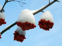 Rote Ebereschenbeeren auf einer Niederlassung im Schnee auf einem kalten Morgen Lizenzfreie Stockfotos