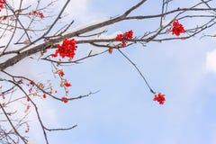 Rote Ebereschenbeeren und Zweige gegen den blauen Himmel und die Wolken in t Stockfoto