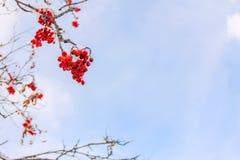 Rote Ebereschenbeeren und Zweige gegen den blauen Himmel und die Wolken in t Stockfotografie