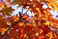 Rote Eiche des Herbstes verlässt Hintergrund Stockbilder