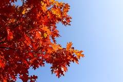 Rote Eiche des Herbstes verlässt Hintergrund Stockbild