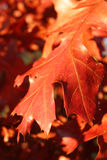 Rote Eichen-Blätter Lizenzfreies Stockbild