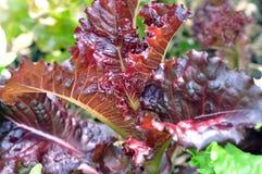 Rote Eichen-Kopfsalat lizenzfreie stockfotos