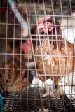 Rote Eihühner im Schichtkäfig Stockfotos