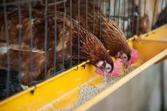 Rote Eihühner im Schichtkäfig Stockbild