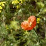 Rote einsame Mohnblume des Herzens Deutschland-Mädchen und Kroat-Junge mit Verzeichnis Stockfotos