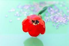 Rote einzelne Tulip Flower Closeup Stockbilder