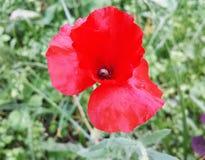 Rote empfindliche Mohnblumenblume an einem sonnigen Sommertag Lizenzfreie Stockfotografie