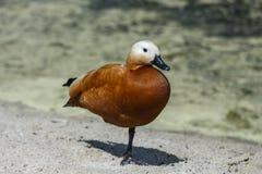 Rote Ente auf einem Bein Lizenzfreies Stockbild