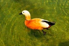 Rote Ente (rötliches Shelduck) Stockfotos