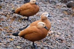 Rote Enten lizenzfreie stockbilder
