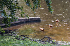 Rote Enten im wilden Stockbild