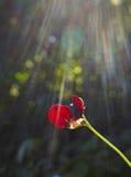 Rote Erbsenblume mit Sonnenstrahlen Stockfotografie