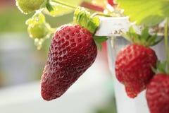rote Erdbeere Lizenzfreies Stockfoto