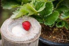 Rote Erdbeere im Dorfgarten Lizenzfreies Stockfoto