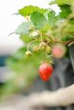 Rote Erdbeere im Dorfgarten Lizenzfreie Stockfotografie