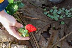 Rote Erdbeere im Garten stockbilder