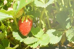 Rote Erdbeere unter grünen Blättern stockfotografie