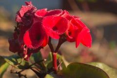 Rote Euphorbiengummi milii Blumen blühender Poi Sian Lizenzfreie Stockfotos