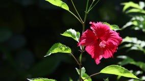 Rote exotische Blume mit Grün verlässt in einem Garten stock video footage