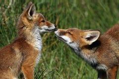 Rote Füchse des kleinen Jungen Stockfotos