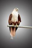 Rote Falken gefangen genommen auf Stahl Lizenzfreie Stockfotos