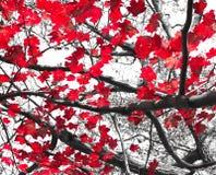Rote Fall-Blätter auf Schwarzweiss Stockfotografie