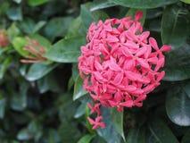 Rote Farbe Ixora-Blume Lizenzfreies Stockbild