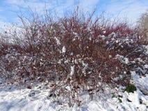 Rote Farbgebüsch drapiert im Schnee Lizenzfreies Stockfoto