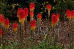 Rote farbige Blume nannte Guilfoyle' s-Vulkan in Melbourne' botanische Gärten s stockbilder