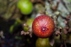 Rote Feige auf Feigenbaum stockfotos