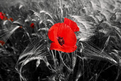 Rote Feld-Mohnblumen Stockbild