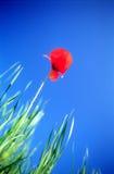 Rote Feldmohnblume lizenzfreie stockfotos