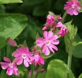 Rote Feuernelke-wilde Blumen Lizenzfreie Stockfotografie