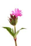 Rote Feuernelken-Blume Lizenzfreie Stockfotos