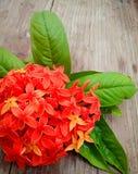 Rote Feuerradblume lizenzfreie stockbilder