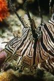Rote firefish Nahaufnahme des Kopfes Lizenzfreie Stockbilder