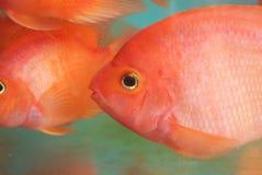Rote Fische stockbild