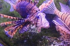 Rote Fische Stockfoto