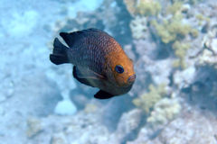 Rote Fische, die vorbei überschreiten Stockbild