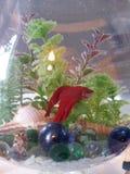 Rote Fische in einem Aquarium Stockbild