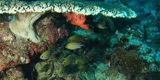 Rote Fische unter Tabellenkoralle Lizenzfreie Stockbilder