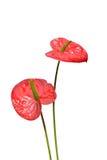 Rote Flamingo-Lilie Stockfotografie