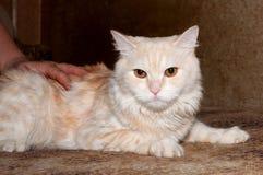 Rote flaumige Katze, die auf Bett liegt Stockbild