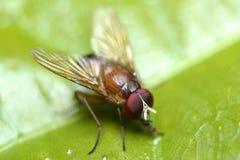 Rote Fliege auf grünem Blatt Stockbild