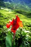 Rote fower Front die Plantagen des grünen Tees Cameron Highlands Lizenzfreie Stockfotografie