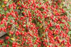 Rote Früchte von Cotoneaster lizenzfreies stockfoto
